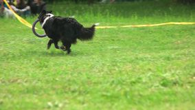 Border collie dog is running with a puller toy. stock video
