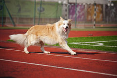Border collie dog running Stock Photo