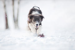 Border collie dog running to catch a toy in winter Stock Image