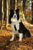 Border Collie dog sitting on the grass at the park, Stock Photo