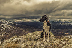 Border Collie dog sitting on rock with snow covered mountains in Stock Photography