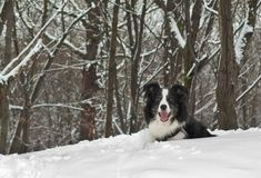 Border Collie Dog In The Snow Stock Image