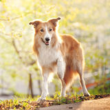 Border collie dog stand up in sunshine Royalty Free Stock Photos