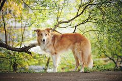 Border collie on the spring background Royalty Free Stock Photo