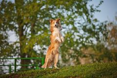 Border collie stand up on the spring background