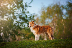 Border collie on the summer background Royalty Free Stock Photography
