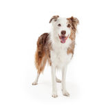 Border Collie Dog Standing And Facing Forward Royalty Free Stock Image