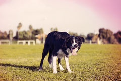 Border Collie at the Park. A border Collie dog standing on the grass at the park, concentrated on something off frame. Stylized with cross process aesthetics Royalty Free Stock Images