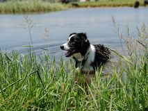 A Border Collie dog standing in long reeds at the edge of a blue lake. stock photography