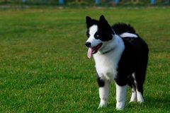 Dog breed Border Collie. Border collie dog stands on green grass and shows tongue royalty free stock photography