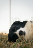 Border Collie dog staring at the camera, on the grass Stock Image