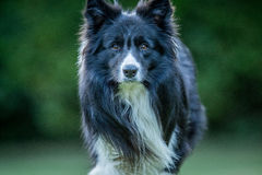 Border Collie dog starring at the camera. royalty free stock images