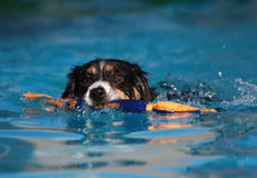 Border Collie Dog swimming with his toy. Pointer dog swimming with his toy in the pool stock image
