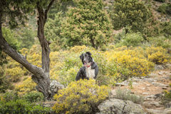 Border Collie dog in the Tartagine valley in northern Corsica Royalty Free Stock Photo