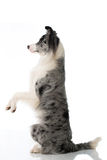 Border collie dog. To sit up and beg stock photos