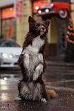 Border Collie dog trained to perform tricks in the Stock Image