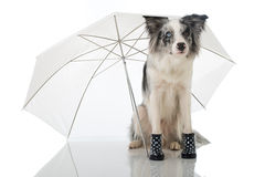 Border collie dog. With umbrella isolated on white royalty free stock image