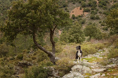 Border Collie dog under a tree in Corsica Stock Photo