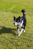 Border Collie Dog with Tennis Ball at Park. A Border Collie dog walking on the lawn on a sunny day at an urban park with a Tennis ball in its mouth Stock Photos