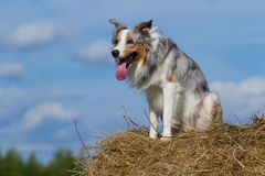 Border collie dog walking. Sunny day stock photography