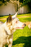 Border collie dog wating for food in the sun light Stock Images