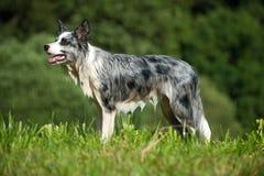 Border Collie Dog Royalty Free Stock Photo