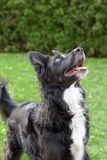 Border Collie dog Working line on alert looking up Garden background. Close-up on a female Border Collie of the working line breed looking upwards very Royalty Free Stock Photography