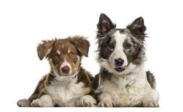 Border Collie dog , 1 year old, and Border Collie puppy. 3 months old, lying against white background Royalty Free Stock Photos