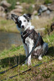 Border collie dog Stock Photo