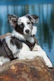 Border collie dog Royalty Free Stock Photos