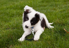 Border collie doggy Stock Image