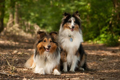 2 border collie dogs in the forest. Happy pig photographed outside in the forest stock photography