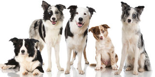 Border collie dogs. Isolated on white stock photography