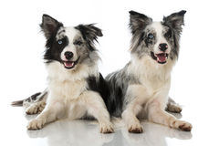 Border collie dogs. Isolated on white stock photos