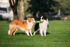 Border collie dogs playing with a flying disc. Two border collie dogs in the park stock photo
