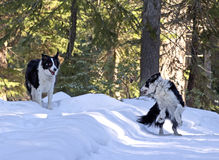 Border Collie Dogs Playing in Snow. Two happy Border Collie Dogs playing in the forest snow royalty free stock photo