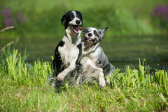 Border Collie Dogs. Wet border collie dogs after the swimming stock photography