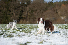 Border collie dogs. In winter landscape royalty free stock photos