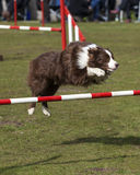 Border Collie doing agility jump Royalty Free Stock Photo