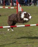 Border Collie doing agility jump Royalty Free Stock Photo