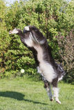 Border collie is doing a handstand Stock Image