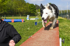 Border Collie doing the sport of Agility royalty free stock photo