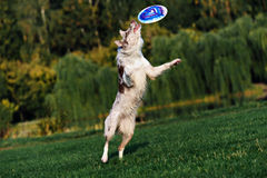Border collie doing tricks in the Park. Very funny Border collie doing tricks in the Park Royalty Free Stock Photography
