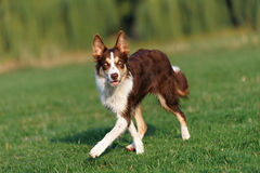 Border collie doing tricks in the Park Stock Photo