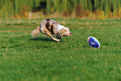 Border collie doing tricks in the Park. Very funny Border collie doing tricks in the Park Stock Photography