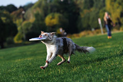 Border collie doing tricks in the Park Royalty Free Stock Photo