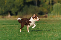 Border collie doing tricks in the Park royalty free stock image