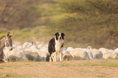 Border collie and donkey Royalty Free Stock Image