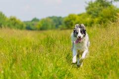 Border Collie doskakiwanie w trawie i bieg Zdjęcie Royalty Free