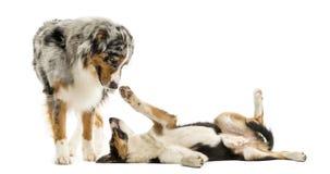 Border collie e pastore australiano che giocano insieme, isolato fotografia stock libera da diritti